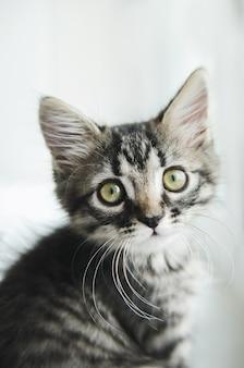 Lindo gato de estimação olhando para a câmera. gato listrado com olhos verdes