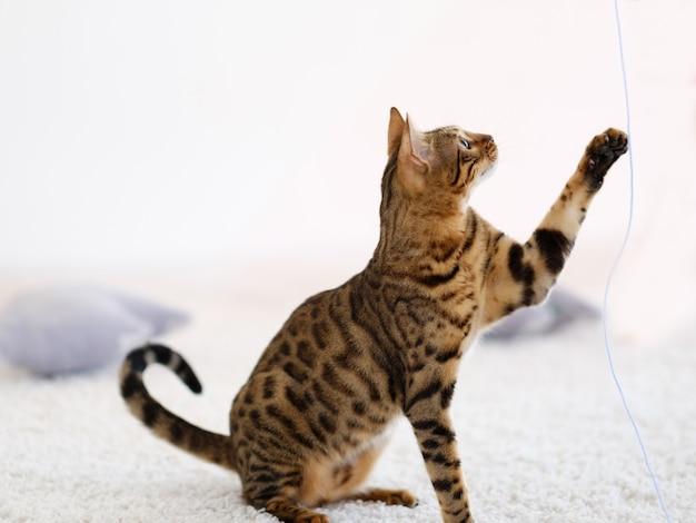 Lindo gato de gatinho de bengala puro-sangue. lindo espécime de animais domésticos. usando sua pata para brincar com uma corda