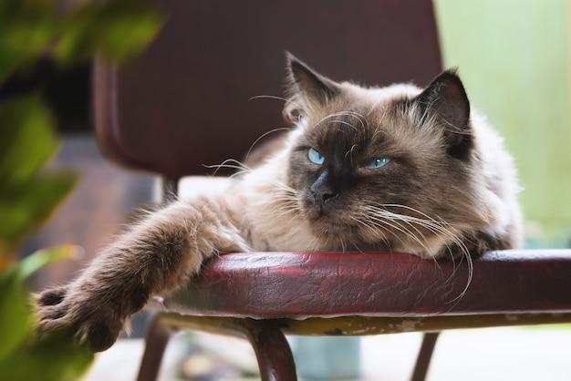 Lindo gato de olhos azuis, senta-se em uma cadeira.