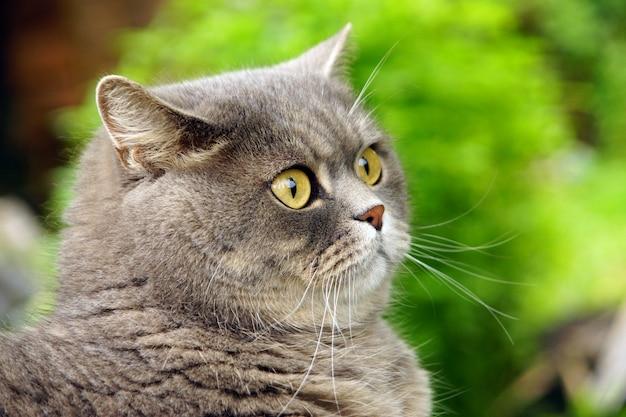 Lindo gato de raça britânica contra a superfície de prados verdes.