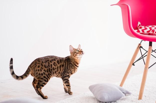 Lindo gato de raça pura de bengala. animais domésticos de estimação. interior branco com poltrona rosa brilhante.
