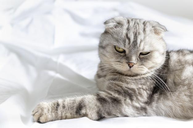 Lindo gato de raça pura em uma cama branca, o gato scottish fold deita de costas e mostra um fofo