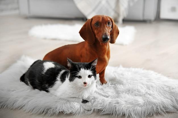 Lindo gato e cachorro bassê no tapete, interior