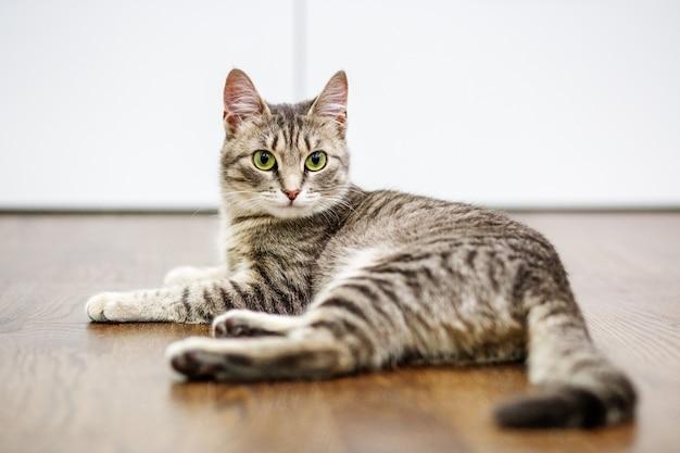 Lindo gato está em casa. o conceito de animais de estimação.