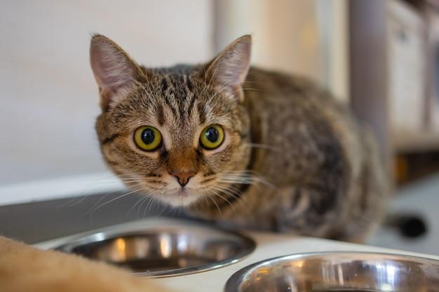 Lindo gato felino comendo em uma tigela de metal. animal doméstico fofo.
