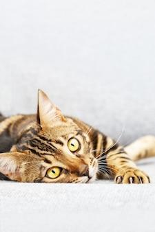 Lindo gato jovem de pêlo curto deitado na cama em casa, animal de estimação gato de bengala, olhando para a câmera.