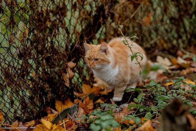 Lindo gato laranja-branco está chegando ao ar livre na natureza