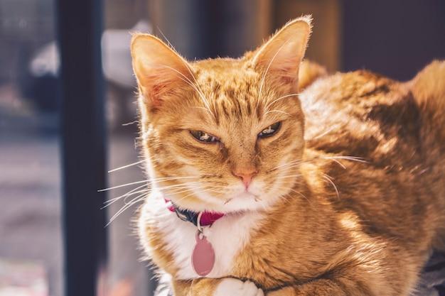 Lindo gato loiro com seu pingente no pescoço