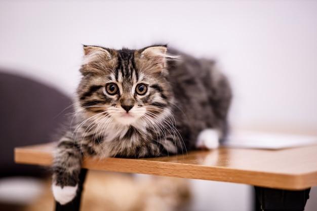Lindo gato malhado com olhos amarelos e longos bigodes. retrato do close-up de um lindo gato. gato doméstico relaxado em casa.