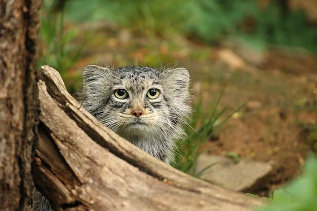 Lindo gato manul escondido atrás de uma árvore caída