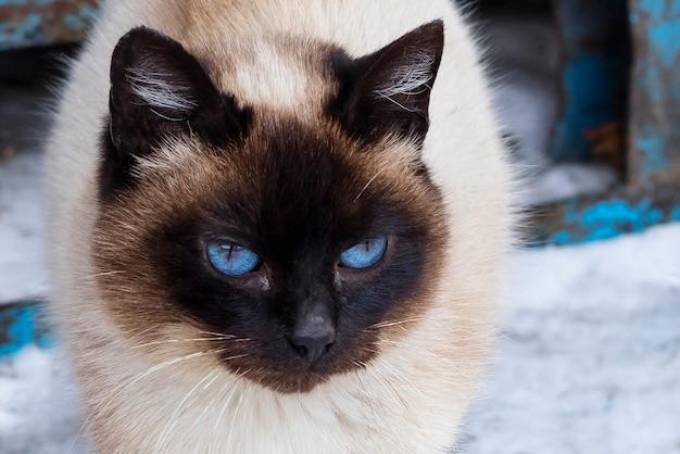 Lindo gato marrom acinzentado com olhos azuis, em uma rua