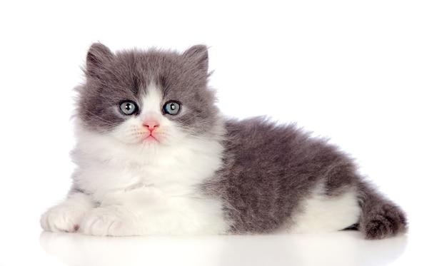 Lindo gato persa cinzento deitado no chão
