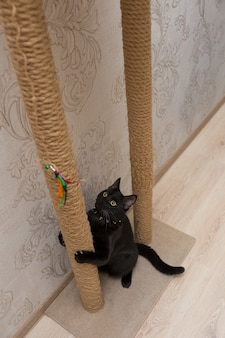 Lindo gato preto brincando em um poste de arranhar