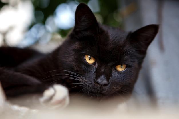 Lindo gato preto deitado e olhando