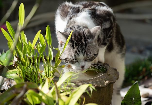 Lindo gato preto e branco bebendo água da bacia de argila de lótus no jardim