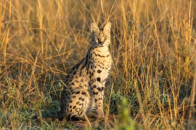 Lindo gato serval