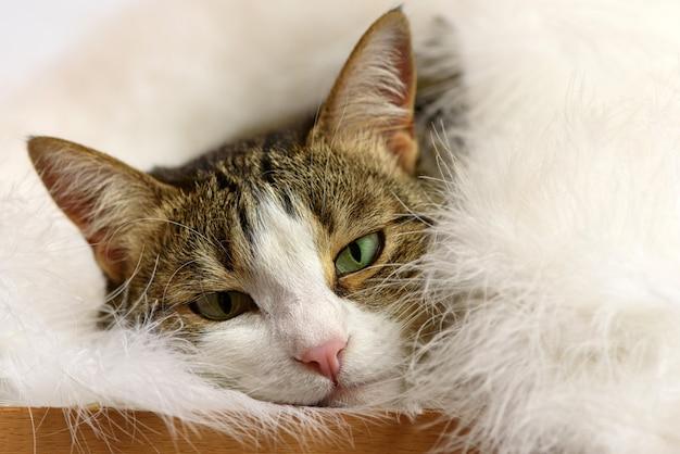 Lindo gato sob o cobertor branco fofo.