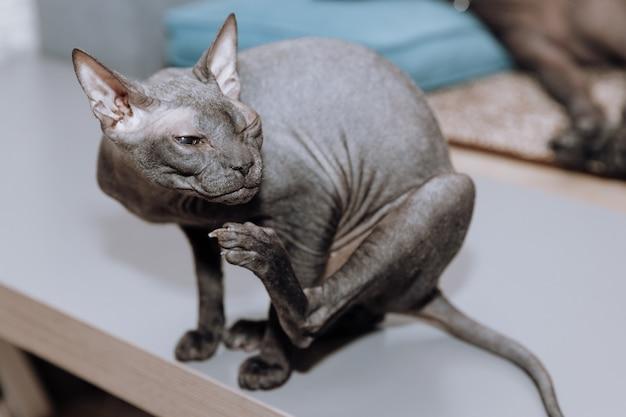Lindo gato sphynx cinza sem pelos em casa