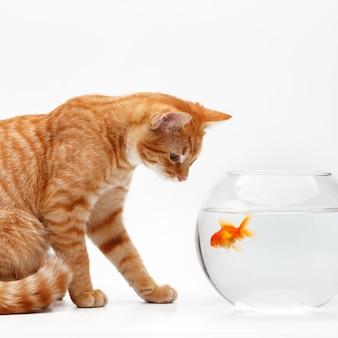 Lindo gato vermelho brinca com um peixe decorativo dourado em um aquário redondo.