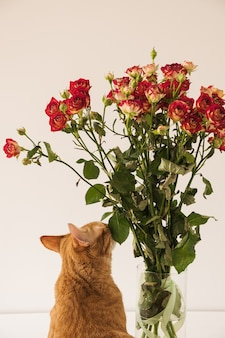 Lindo gato vermelho cheirando buquê de rosas vermelhas em um vaso contra uma parede branca