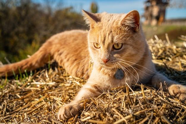 Lindo gato vermelho deitado na grama seca