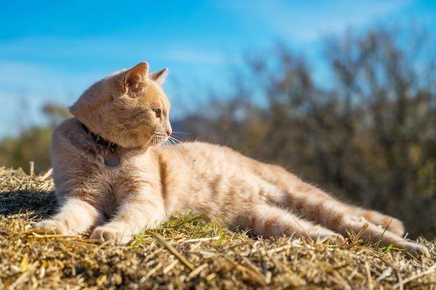 Lindo gato vermelho deitado na palha contra o céu, em um dia ensolarado de primavera