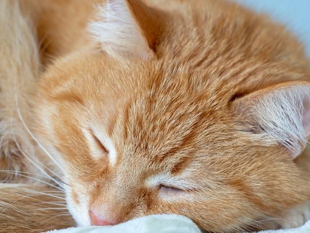 Lindo gato vermelho encantador está dormindo