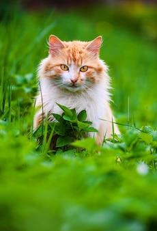 Lindo gato vermelho na grama verde. dia de verão.