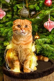 Lindo gato vermelho scottish fold sentado perto da árvore de natal, iluminado