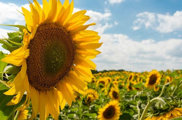 Lindo girassol amarelo no campo contra o céu azul com nuvens brancas