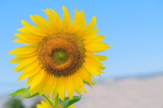 Lindo girassol florescendo no verão com céu azul