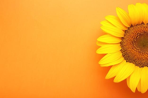 Lindo girassol fresco em fundo laranja. camada plana, vista superior, espaço de cópia. outono ou verão conceito, época de colheita, agricultura. fundo natural de girassol.
