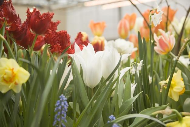 Lindo jardim com tulipas coloridas e flores de narciso