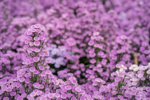 Lindo jardim de flores roxas de margaret