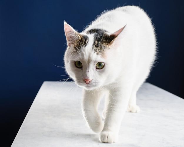 Lindo jovem gato branco andando sobre uma mesa branca e olhando para o futuro