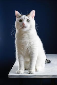 Lindo jovem gato branco sentado em uma mesa branca