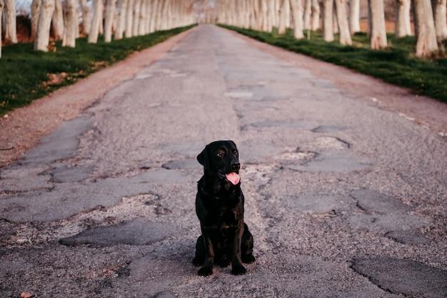 Lindo labrador preto sentado em uma estrada ao pôr do sol