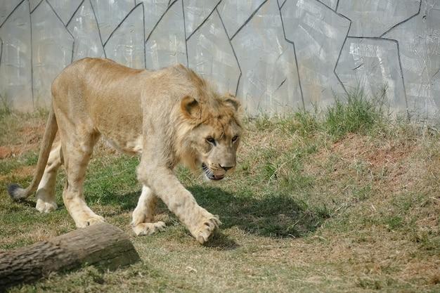 Lindo leão masculino e amarelado para o fundo da imagem da floresta