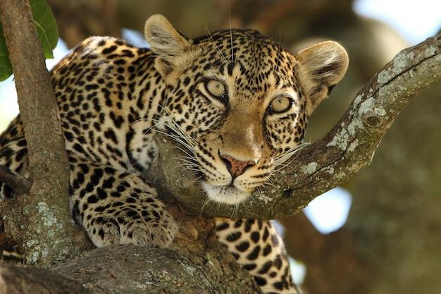 Lindo leopardo africano em um galho de uma árvore