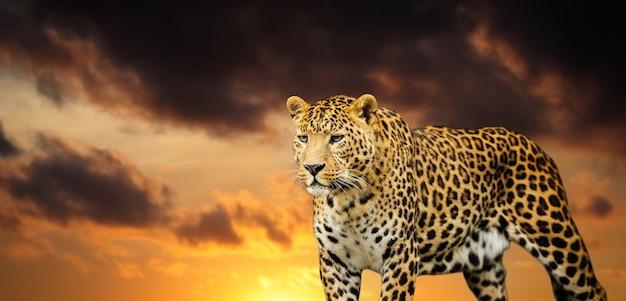 Lindo leopardo no céu
