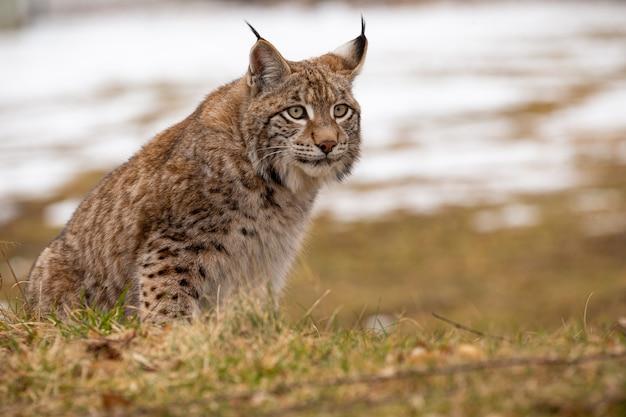 Lindo lince eurasiático em perigo de extinção no habitat natural lynx lynx