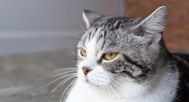 Lindo lindo gato malhado de perto, tiro na cabeça