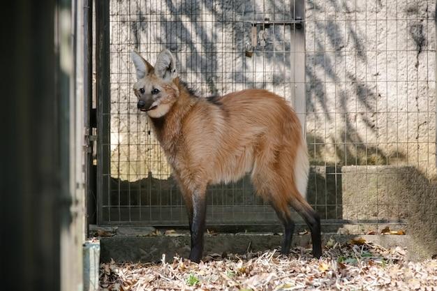 Lindo lobo na floresta em sua casa na natureza na cor marrom