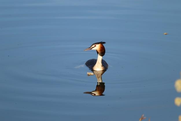 Lindo mergulhão-de-crista flutuando na água