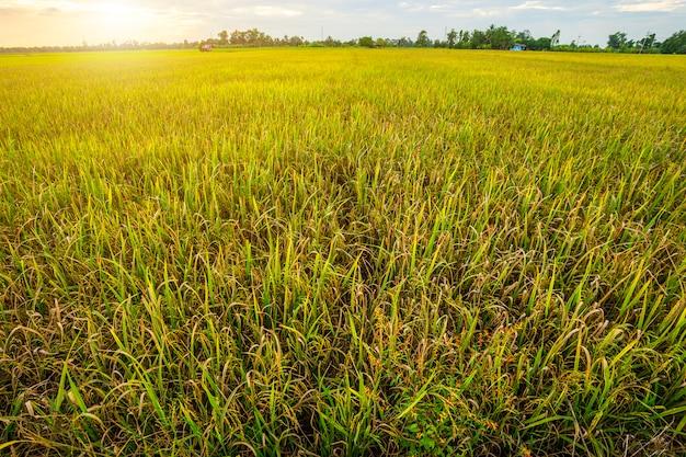 Lindo milharal verde com fundo do céu por do sol