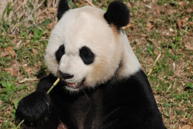 Lindo olhar para o rosto de um urso panda faminto.