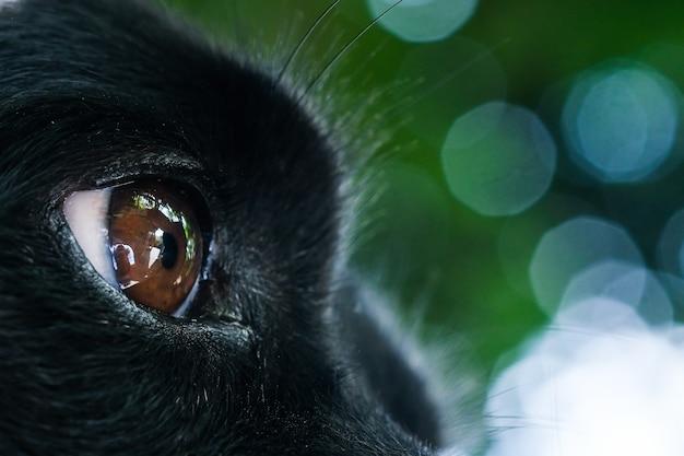 Lindo olho castanho de cachorro preto na tailândia