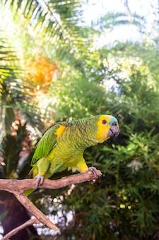 Lindo papagaio verde da amazônia entre ramos verdes de palmeiras