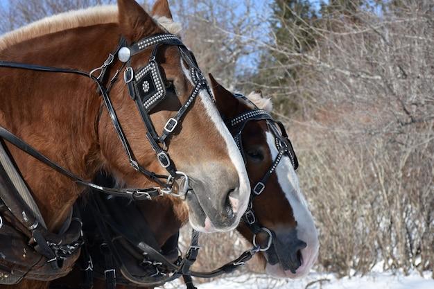 Lindo par de cavalos castanhos percheron no inverno.