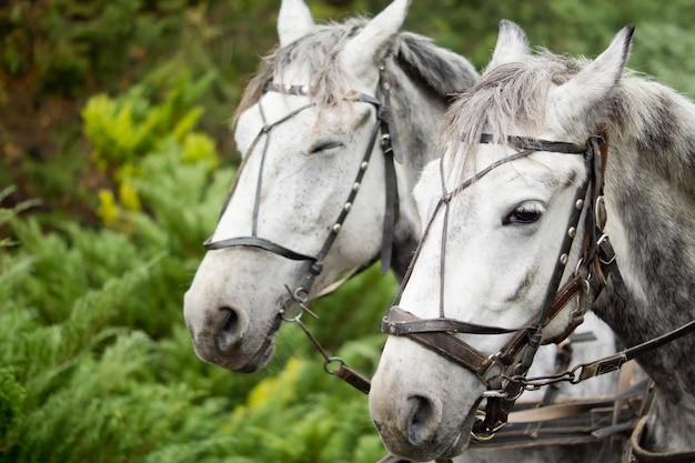 Lindo par de tons de cinza em um arnês de tração para puxar uma carruagem ou vagão em um campo verde exuberante